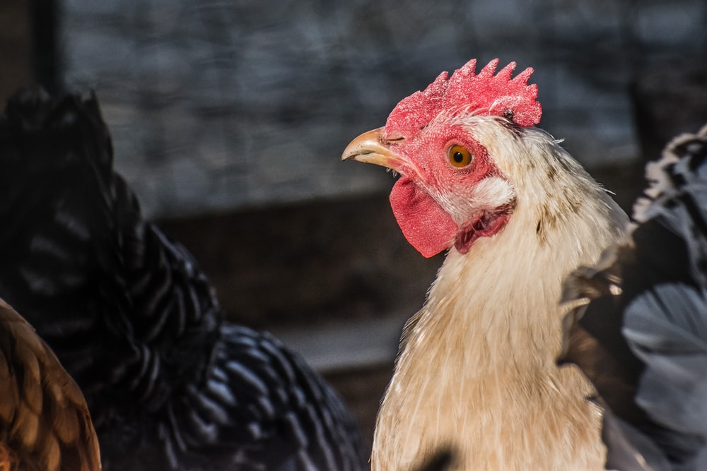 white and black rooster in close up photography