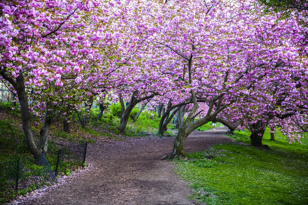 pink cherry blossom tree on green grass field