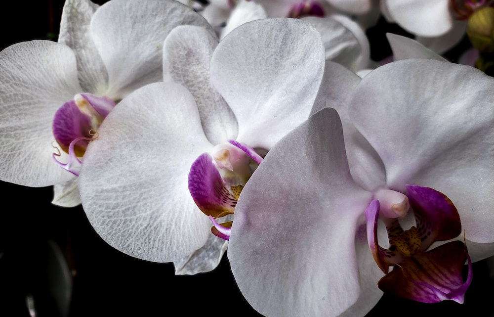 white and pink moth orchids in bloom close up photo