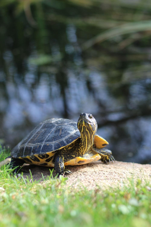 brown and black turtle on brown rock