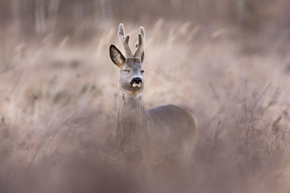 brown deer on gray field