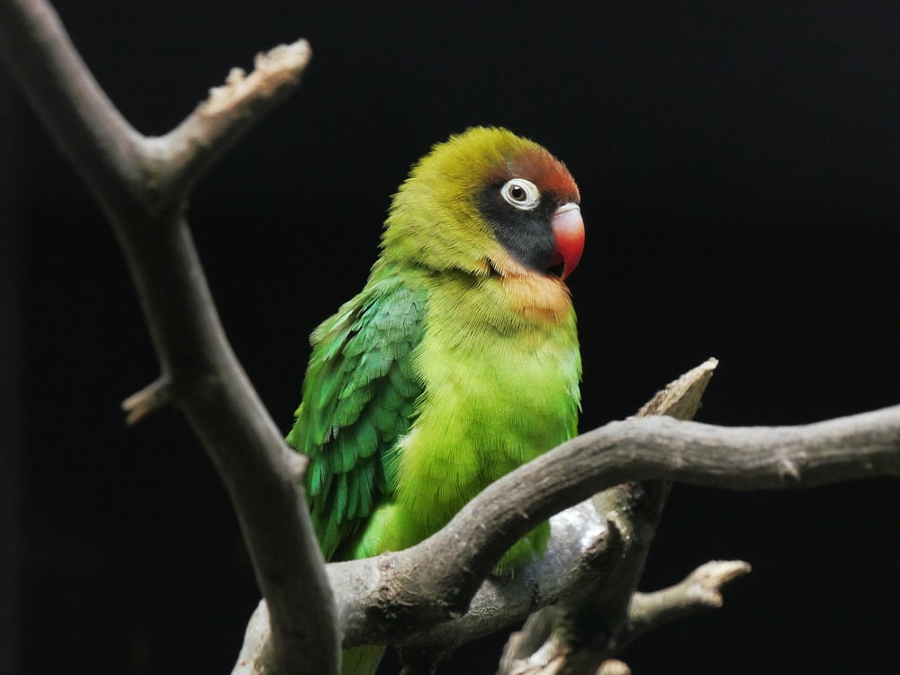 green yellow and red bird on brown tree branch