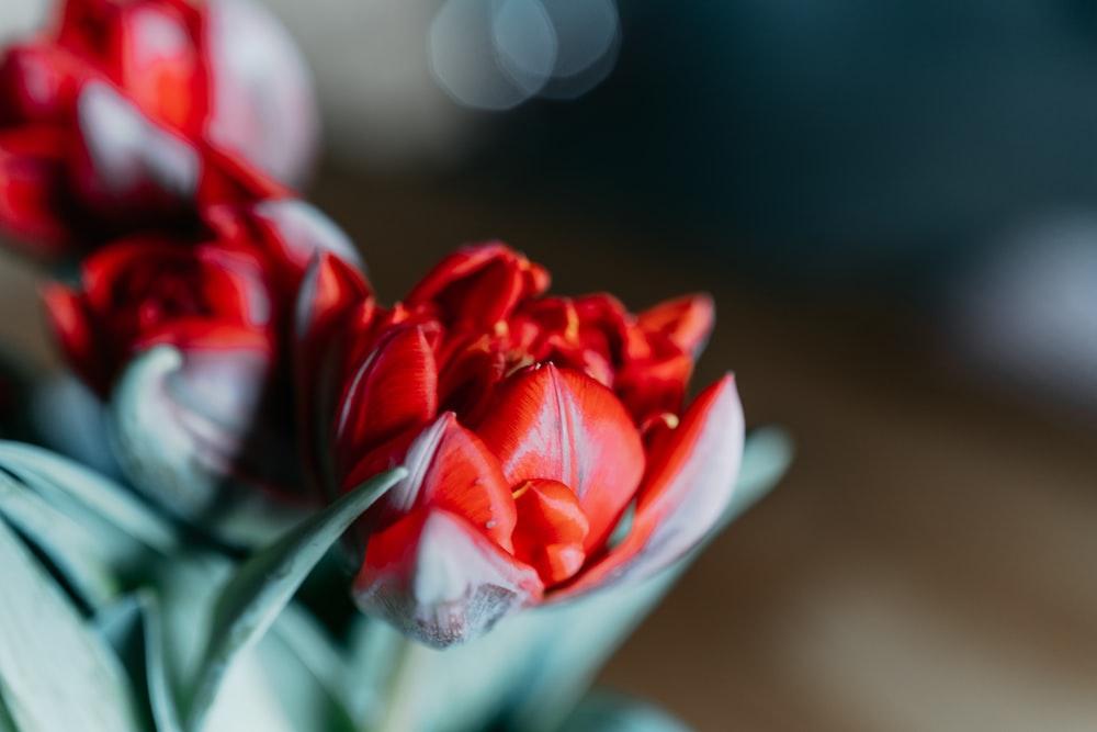 red and white flower in white ceramic vase