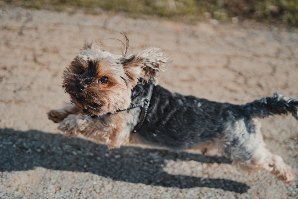 brown and black yorkshire terrier puppy on brown sand during daytime