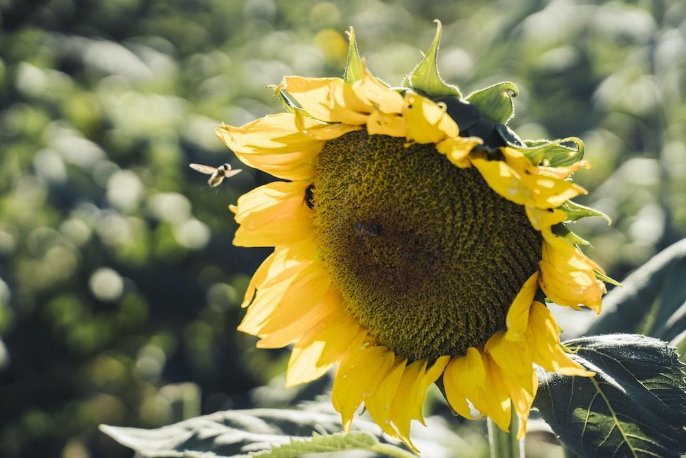 sunflower in tilt shift lens