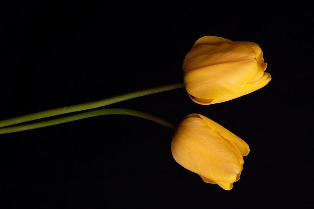 yellow tulips in black background