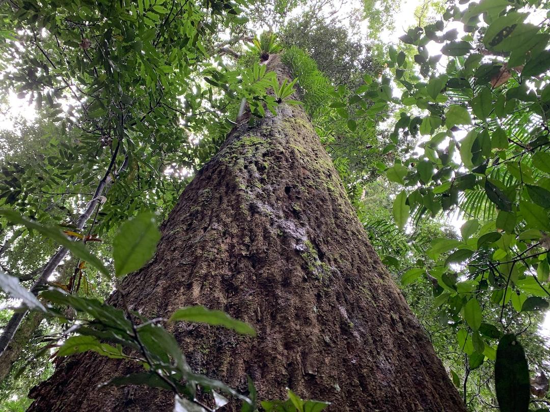 rainforest-tree-lookin ... photo