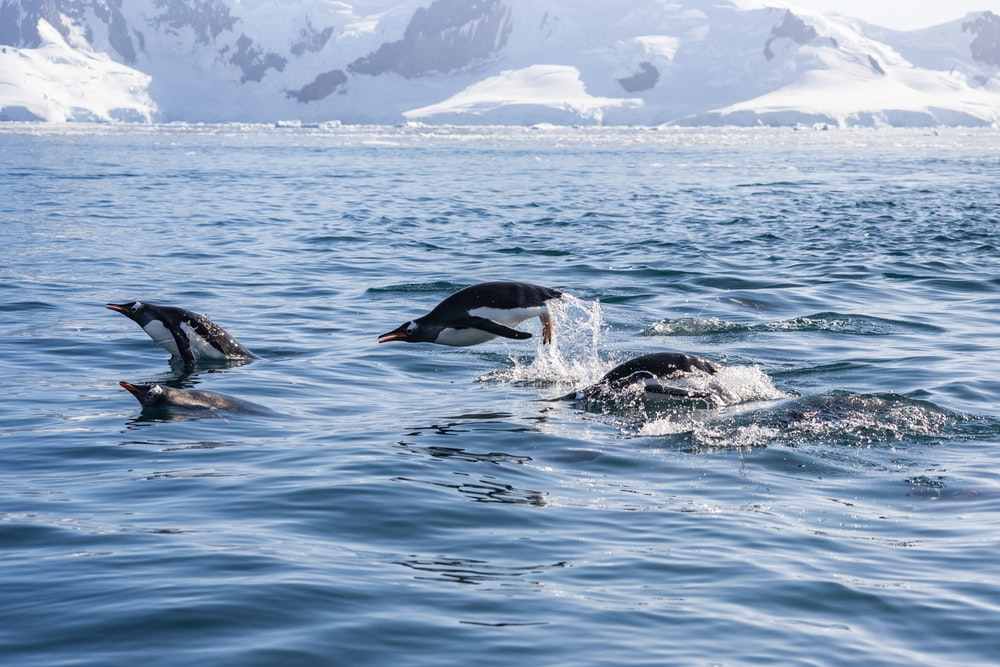 black and white dolphins in water