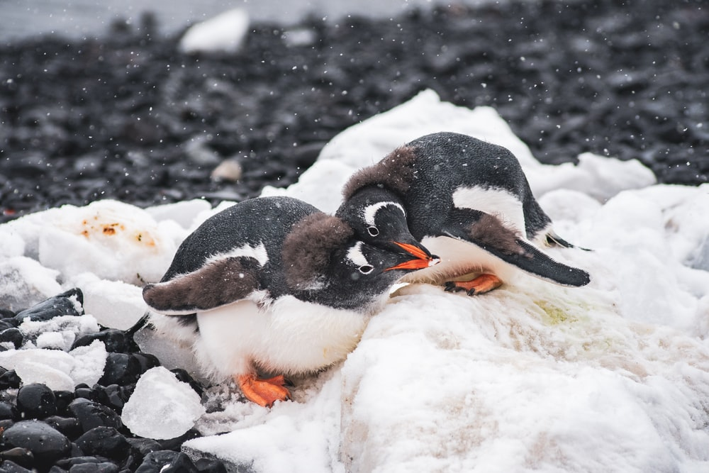 three penguins on snow covered ground during daytime