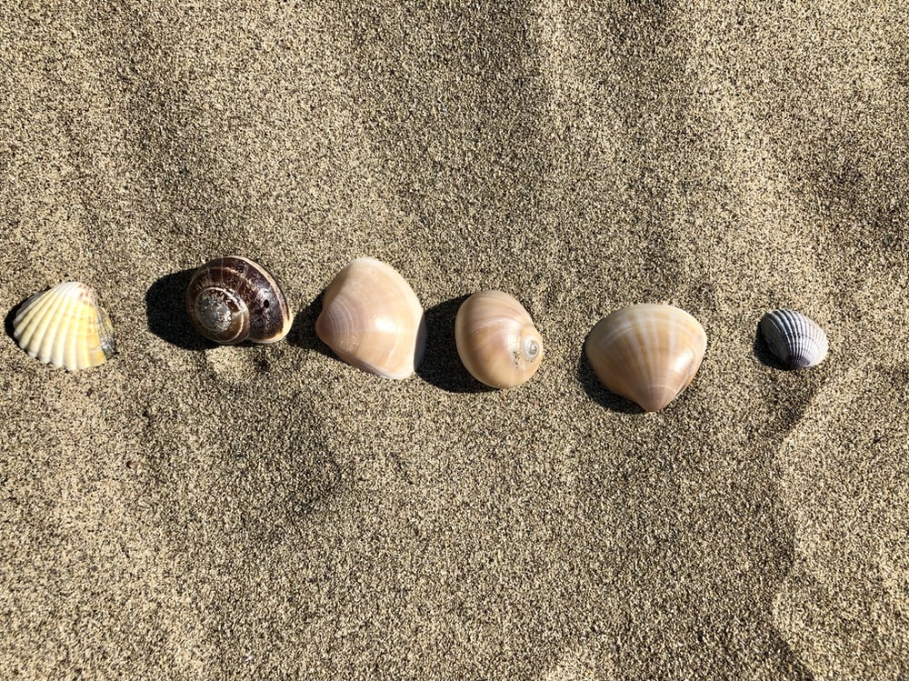 brown and white seashells on brown sand