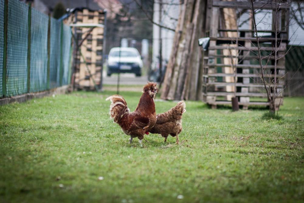 brown hen on green grass field during daytime
