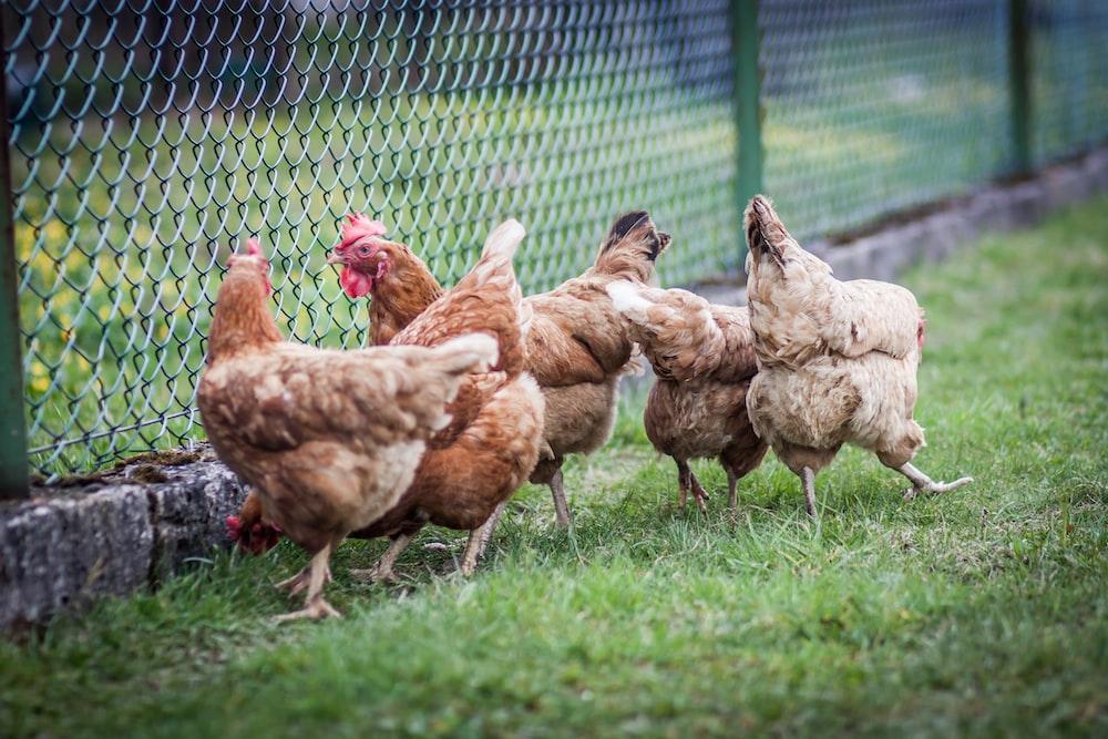brown chicken on green grass field during daytime