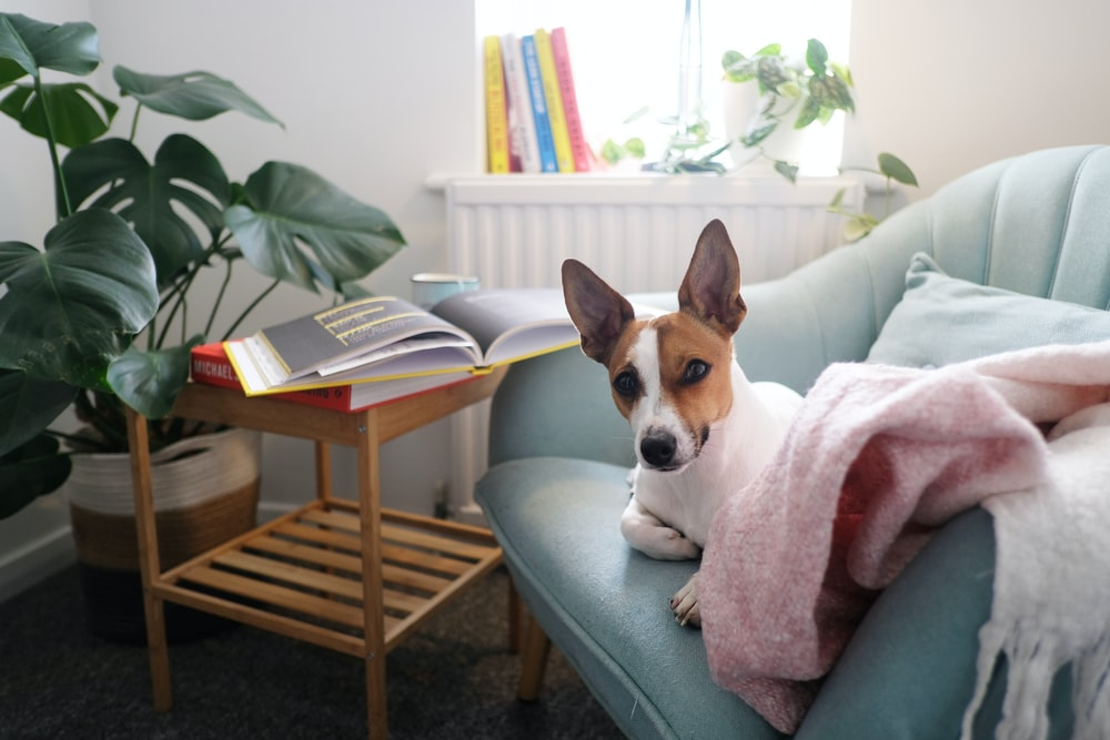 brown and white short coated dog on gray couch