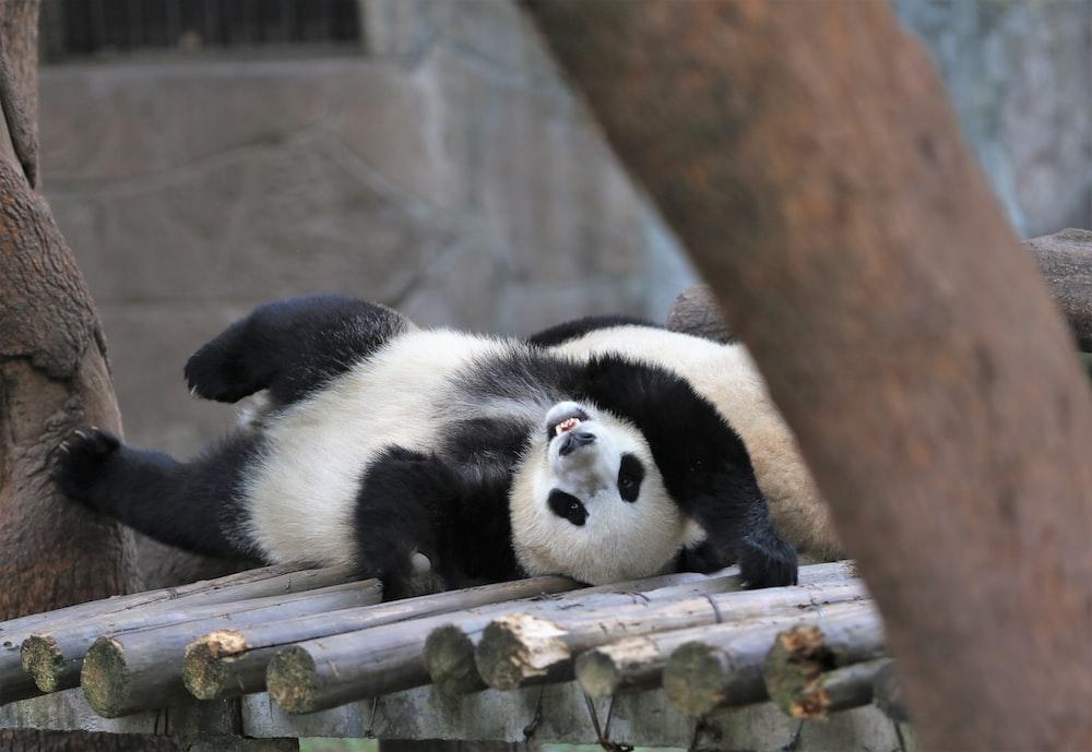 white and black panda on brown tree branch