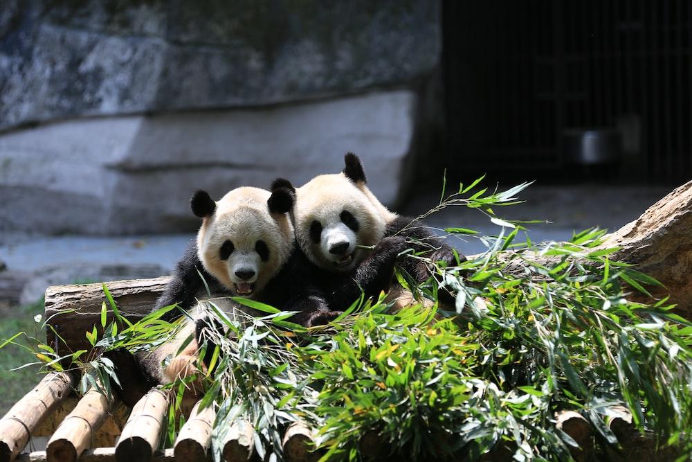 panda bear on green plant