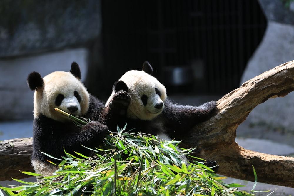 panda bear on tree branch during daytime