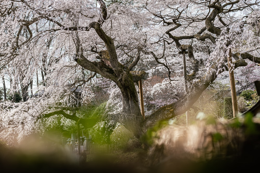 white cherry blossom tree on green grass field