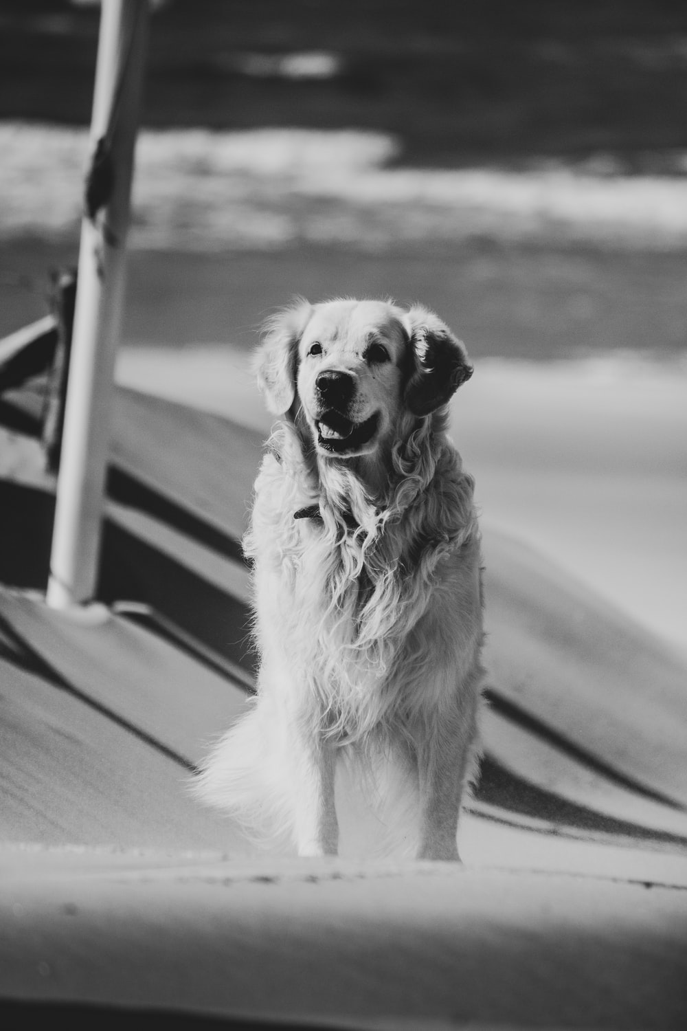 grayscale photo of golden retriever sitting on the road