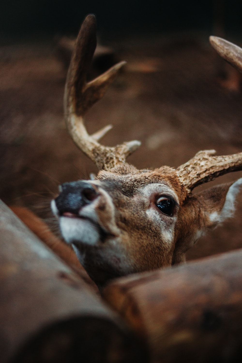 brown deer in close up photography