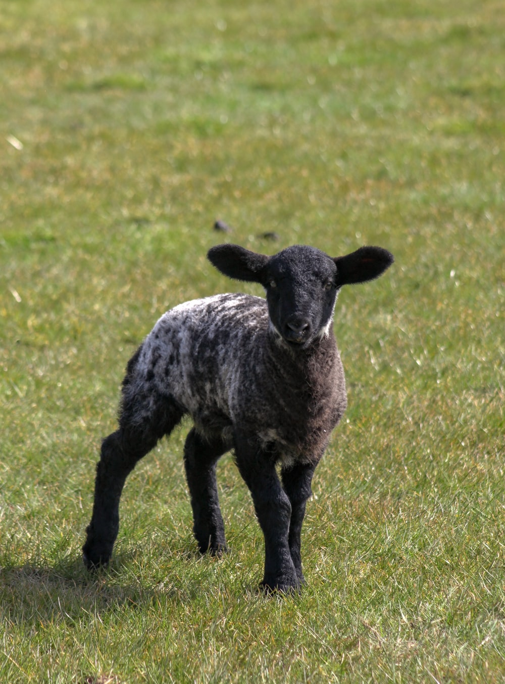 black and white sheep on green grass field during daytime