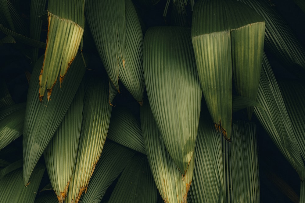 green banana leaves in close up photography