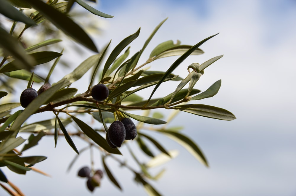 green leaves with black round fruits