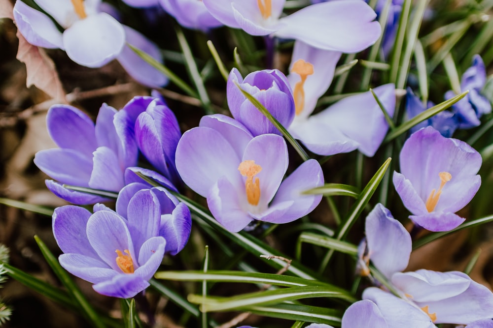 purple and white crocus flowers in bloom during daytime