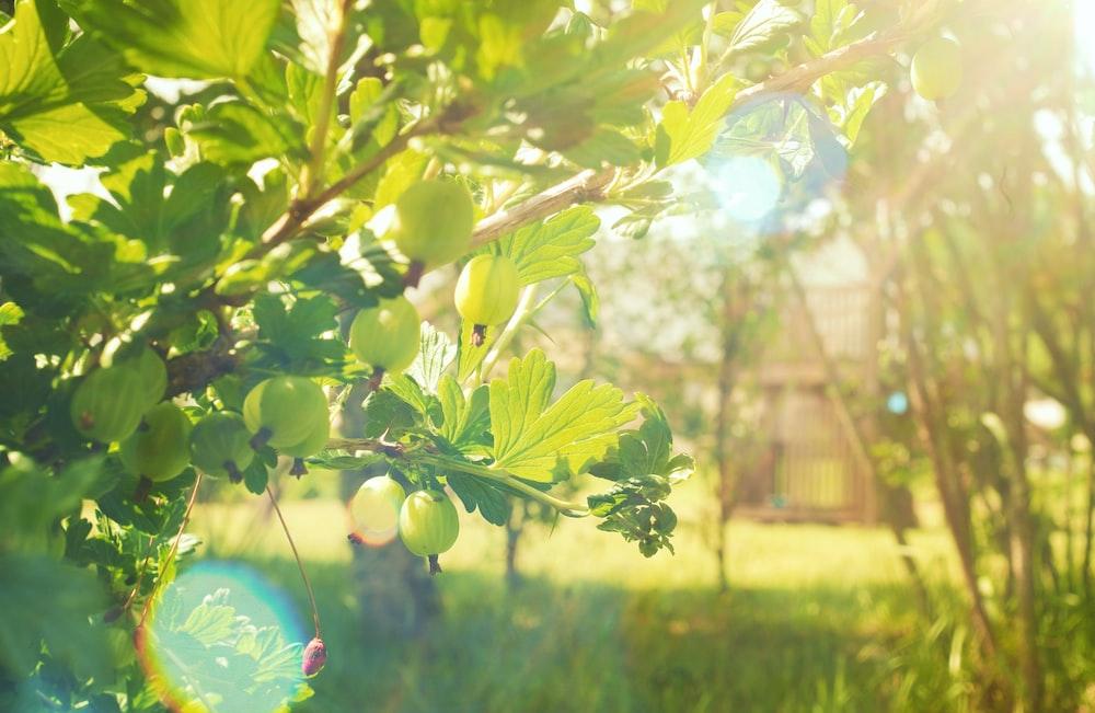 green round fruit on tree during daytime