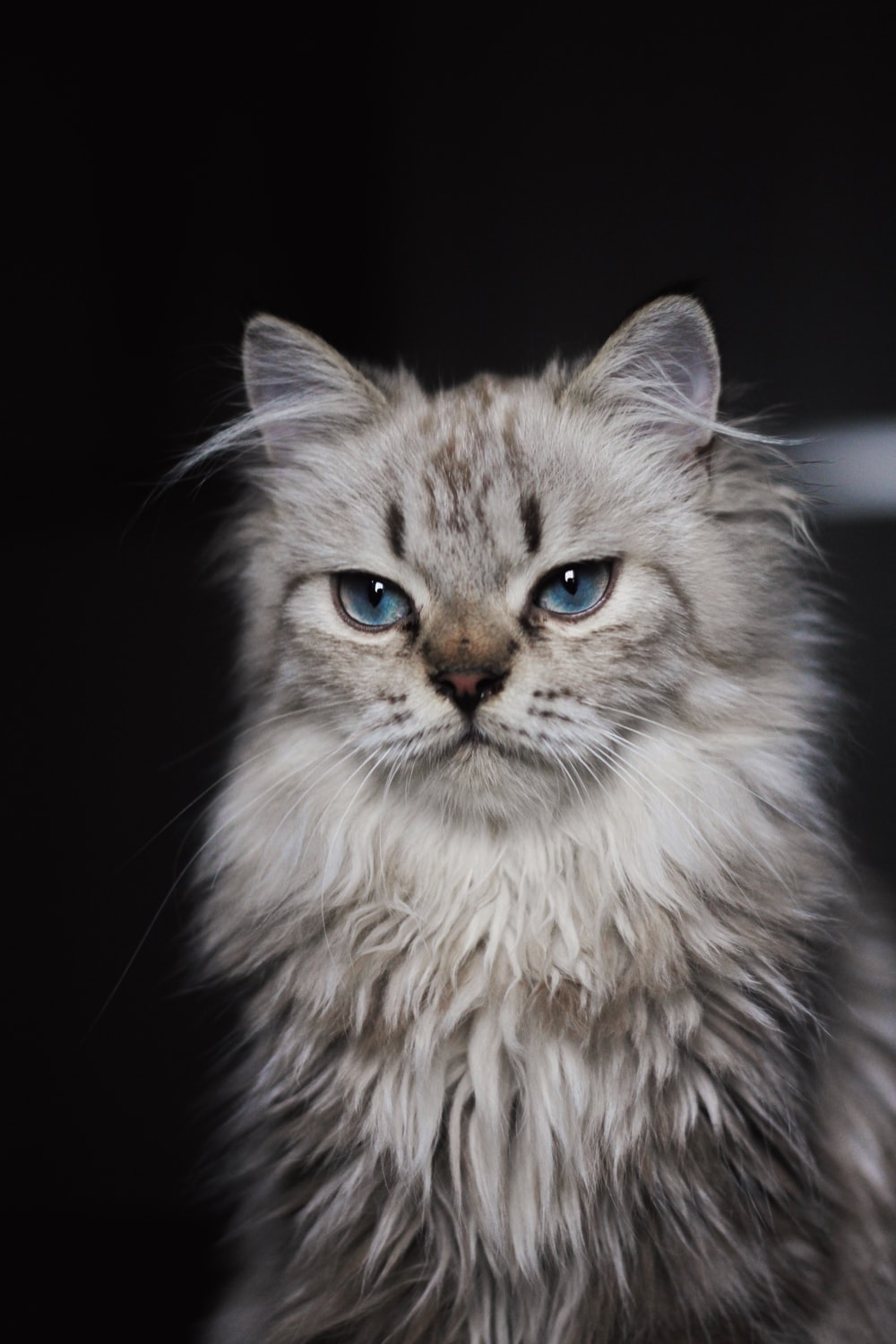 brown and white long fur cat