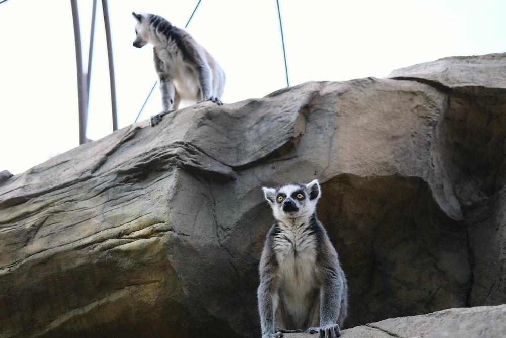 white and black lemur on brown rock