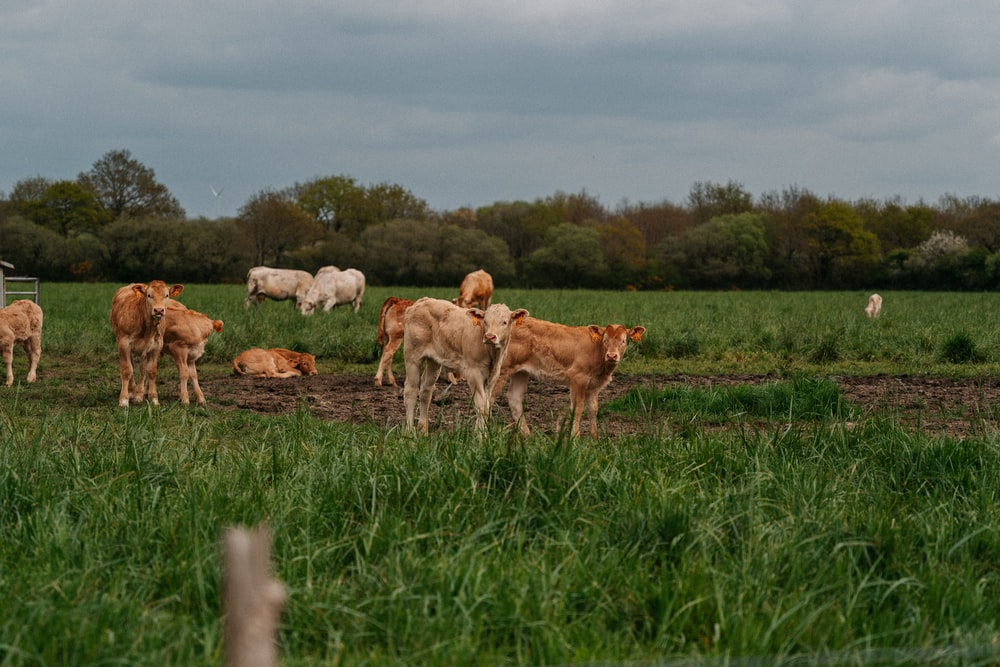 herd of goats on green grass field during daytime