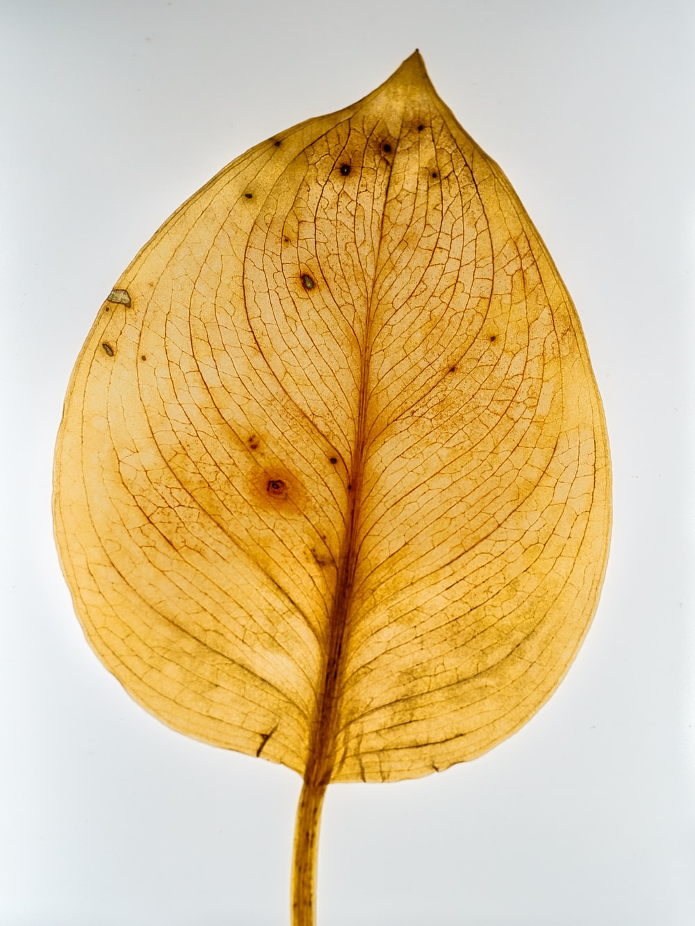 yellow leaf with white background
