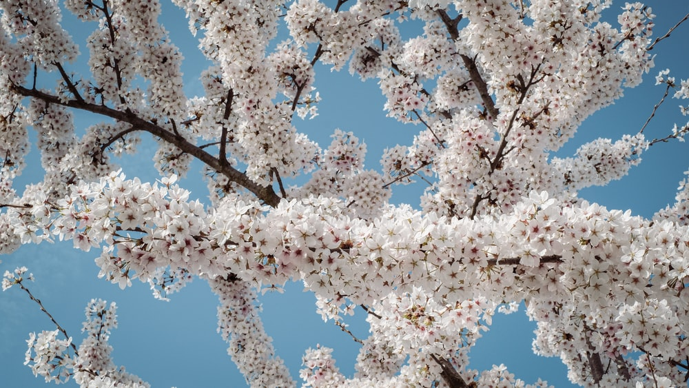 white cherry blossom tree under blue sky during daytime