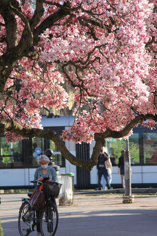 people walking on sidewalk near pink cherry blossom tree during daytime