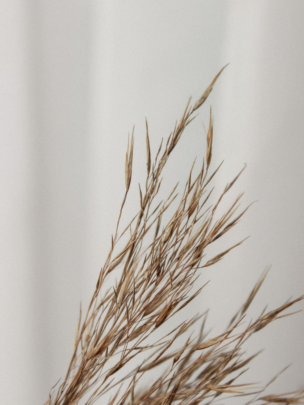 brown wheat plant on white wall