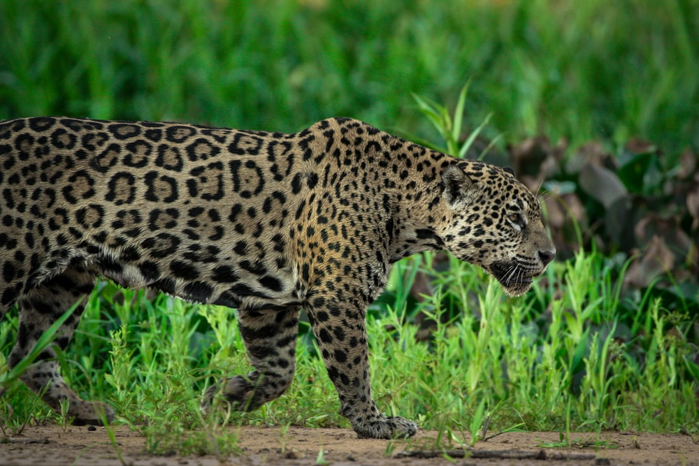 leopard walking on green grass during daytime
