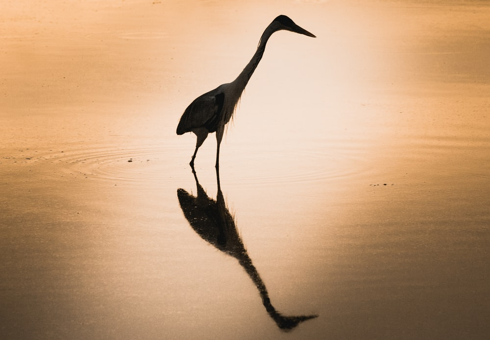 black long beak bird on water