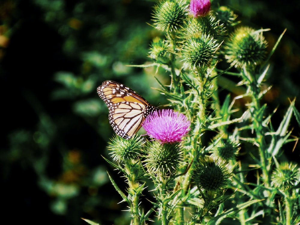 monarch butterfly perched on purple flower in close up photography during daytime