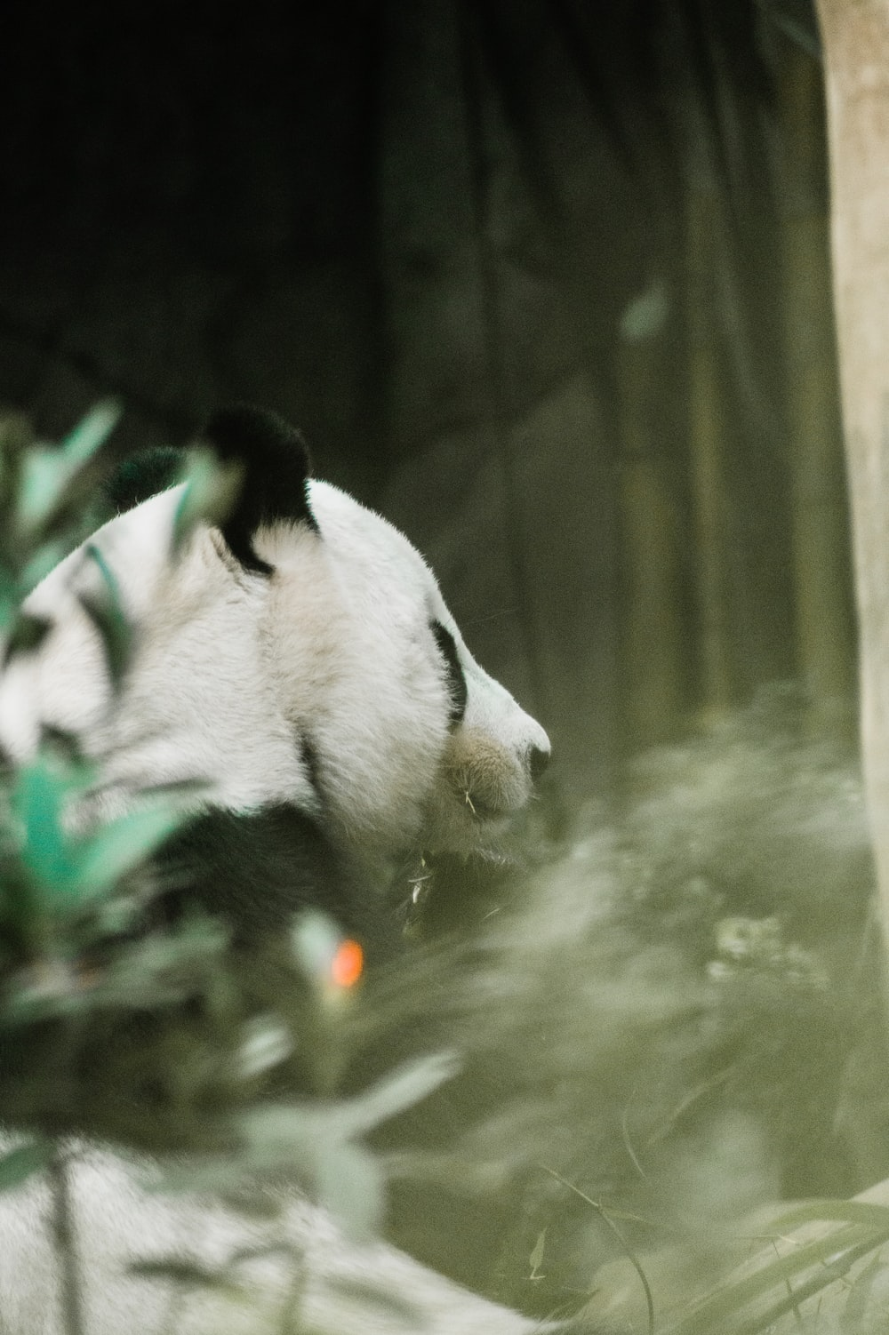 white and black panda in water