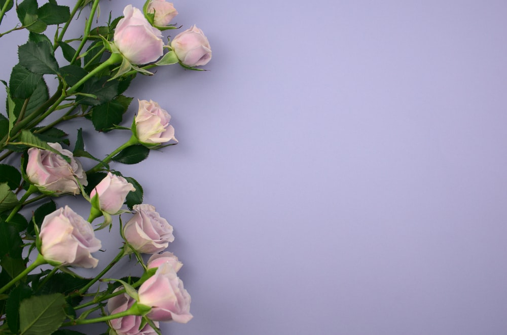 pink and white roses on white surface