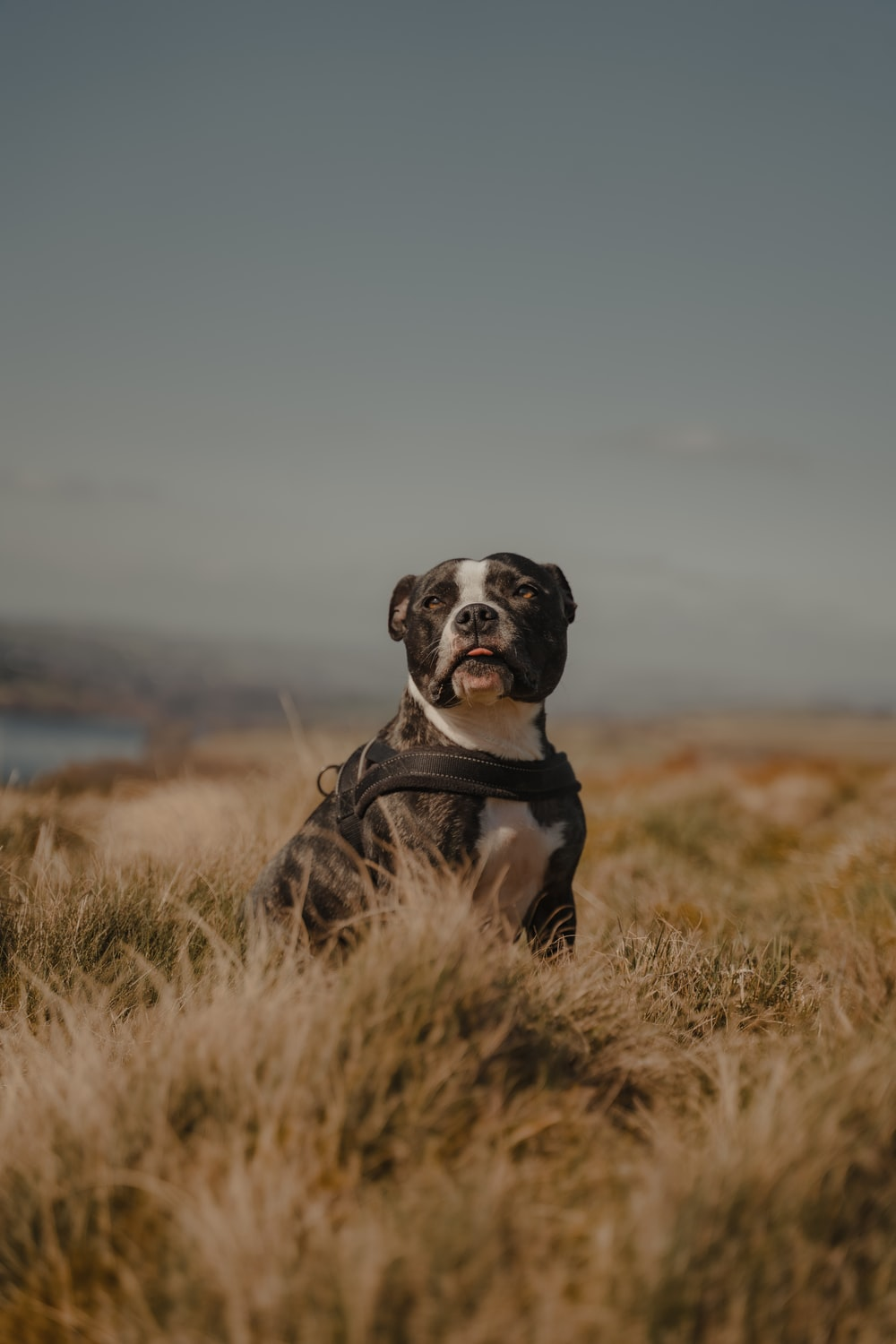 black and white short coated dog on brown grass field during daytime
