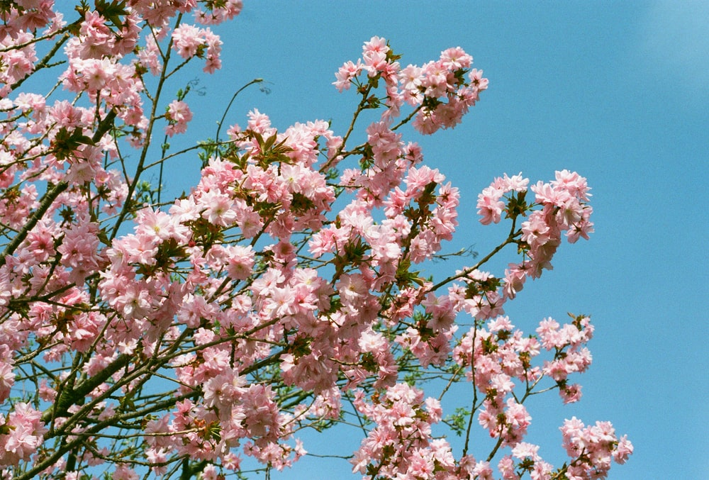 pink cherry blossom under blue sky during daytime