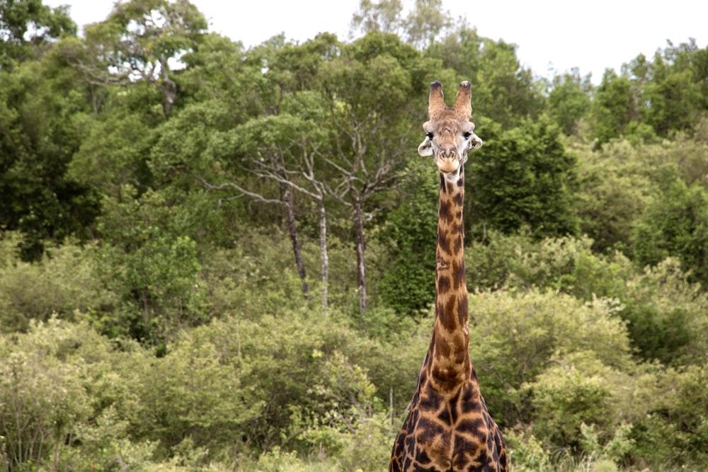 brown giraffe standing on green grass field during daytime