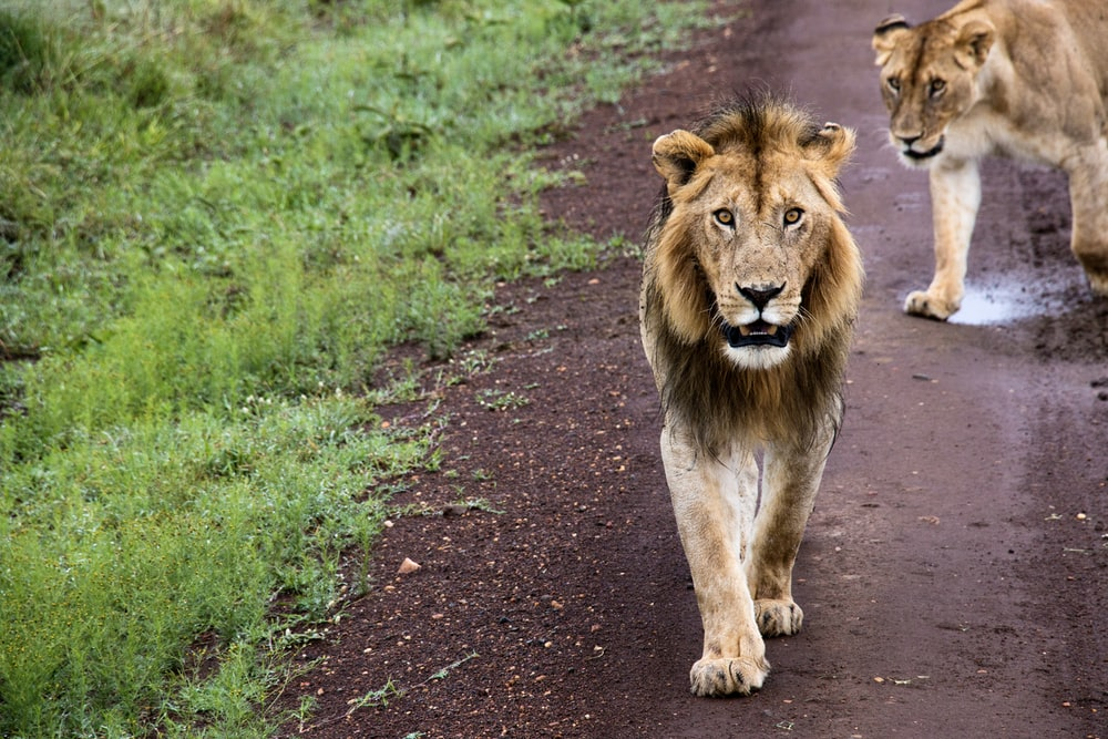 brown lion on green grass field during daytime