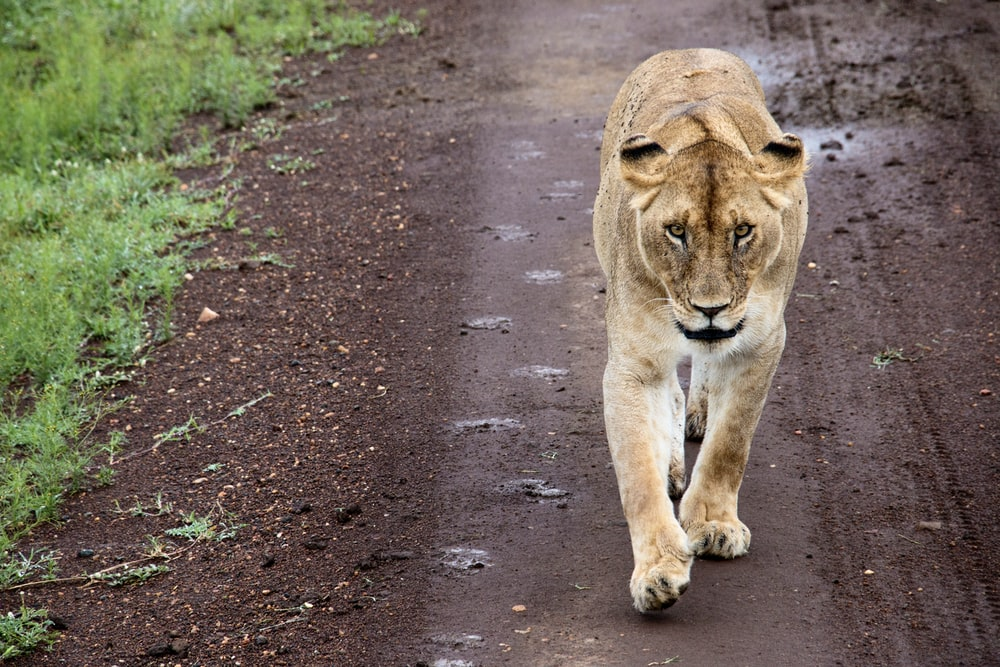 brown lioness walking on gray concrete road during daytime