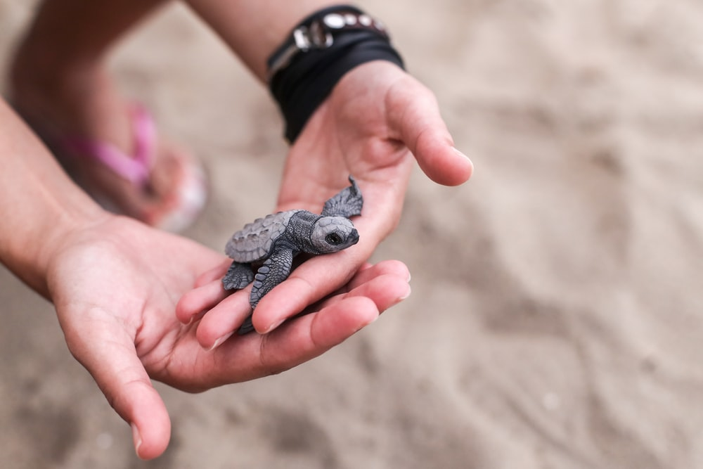 person holding black and gray turtle figurine