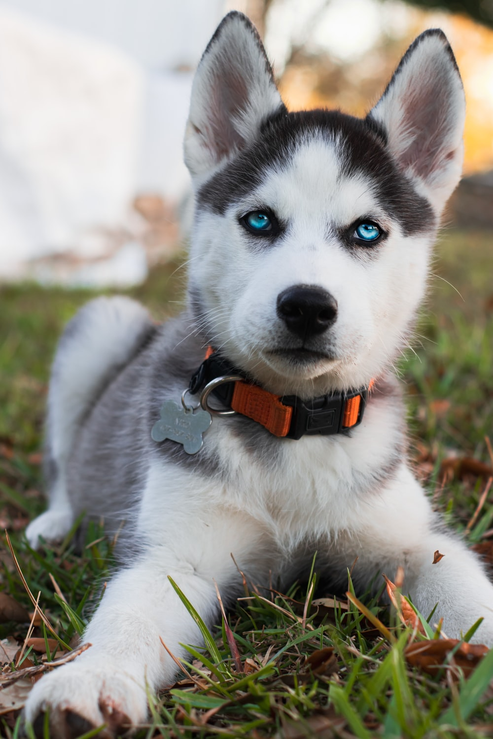 siberian husky puppy with red and black collar