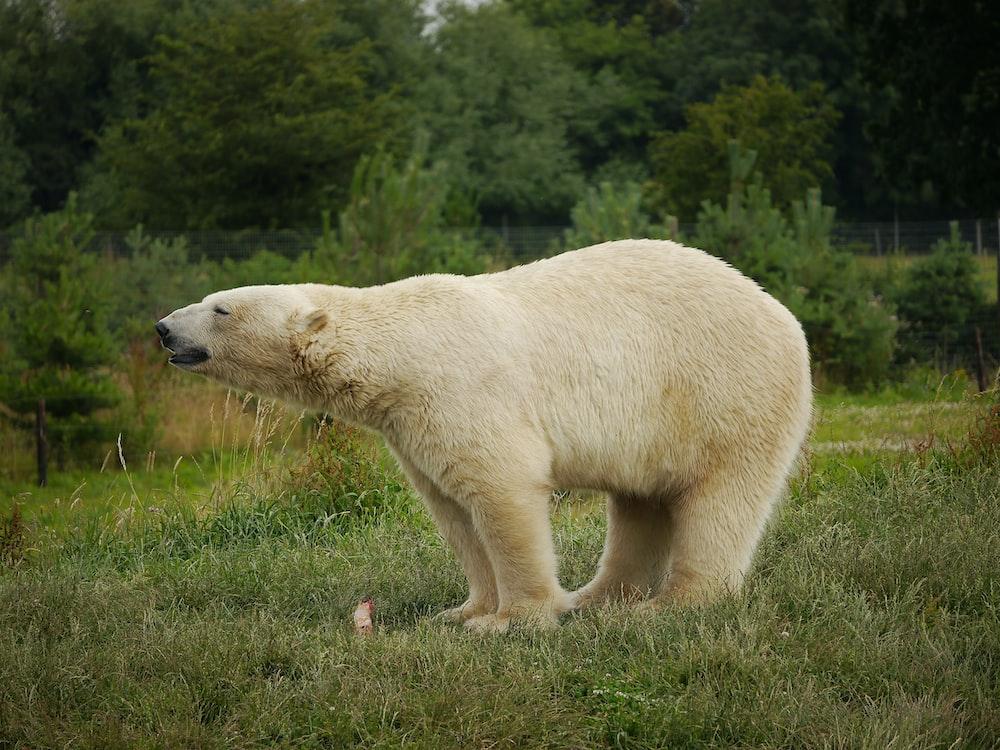 polar bear walking on green grass during daytime