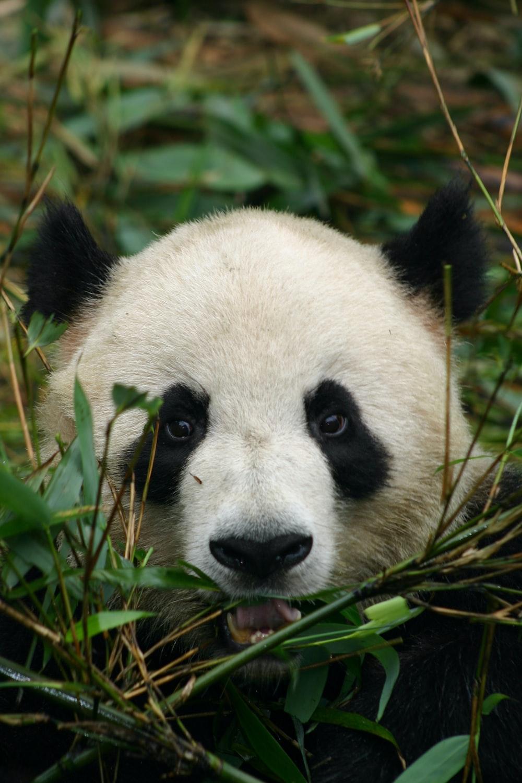 white and black panda on green grass during daytime