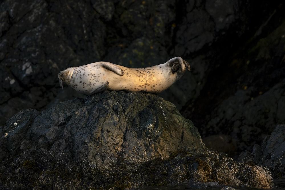 white seal on black rock